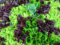 looseleaflettucevarieties